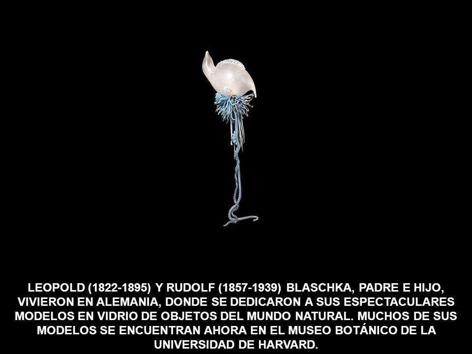 LEOPOLD (1822-1895) Y RUDOLF (1857-1939) BLASCHKA, PADRE E HIJO, VIVIERON EN ALEMANIA, DONDE SE DEDICARON A SUS ESPECTACULARES MODELOS EN VIDRIO DE OBJETOS DEL MUNDO NATURAL.