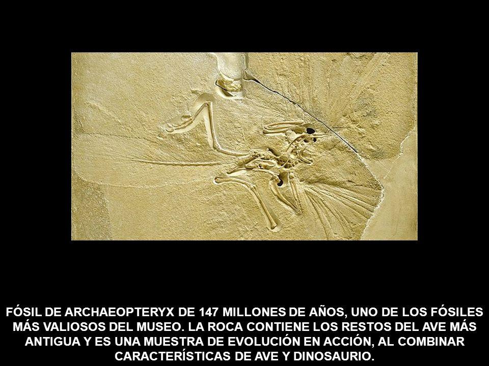 FÓSIL DE ARCHAEOPTERYX DE 147 MILLONES DE AÑOS, UNO DE LOS FÓSILES MÁS VALIOSOS DEL MUSEO.