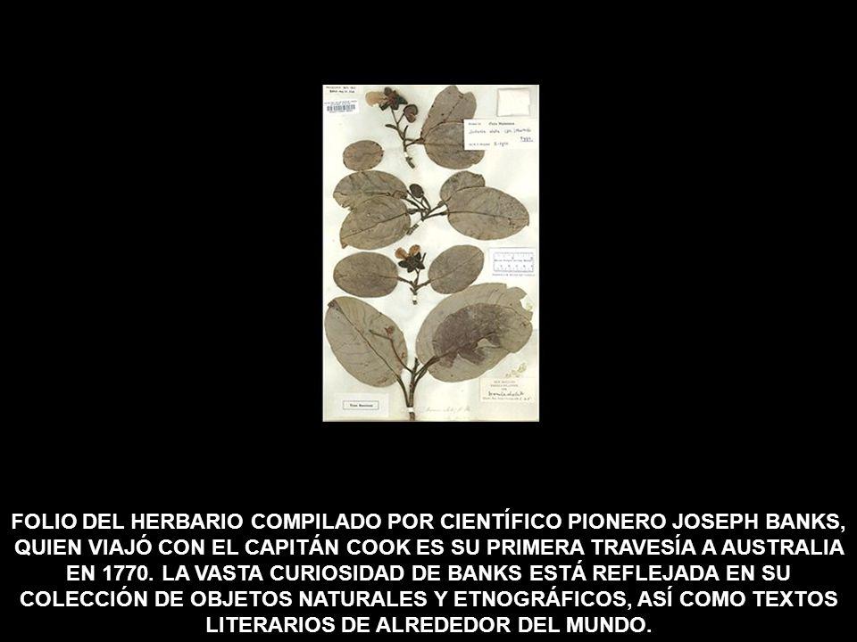FOLIO DEL HERBARIO COMPILADO POR CIENTÍFICO PIONERO JOSEPH BANKS, QUIEN VIAJÓ CON EL CAPITÁN COOK ES SU PRIMERA TRAVESÍA A AUSTRALIA EN 1770.