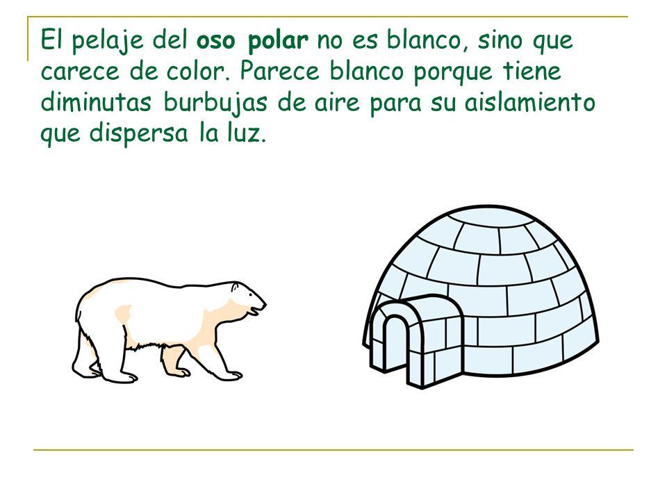 El pelaje del oso polar no es blanco, sino que carece de color