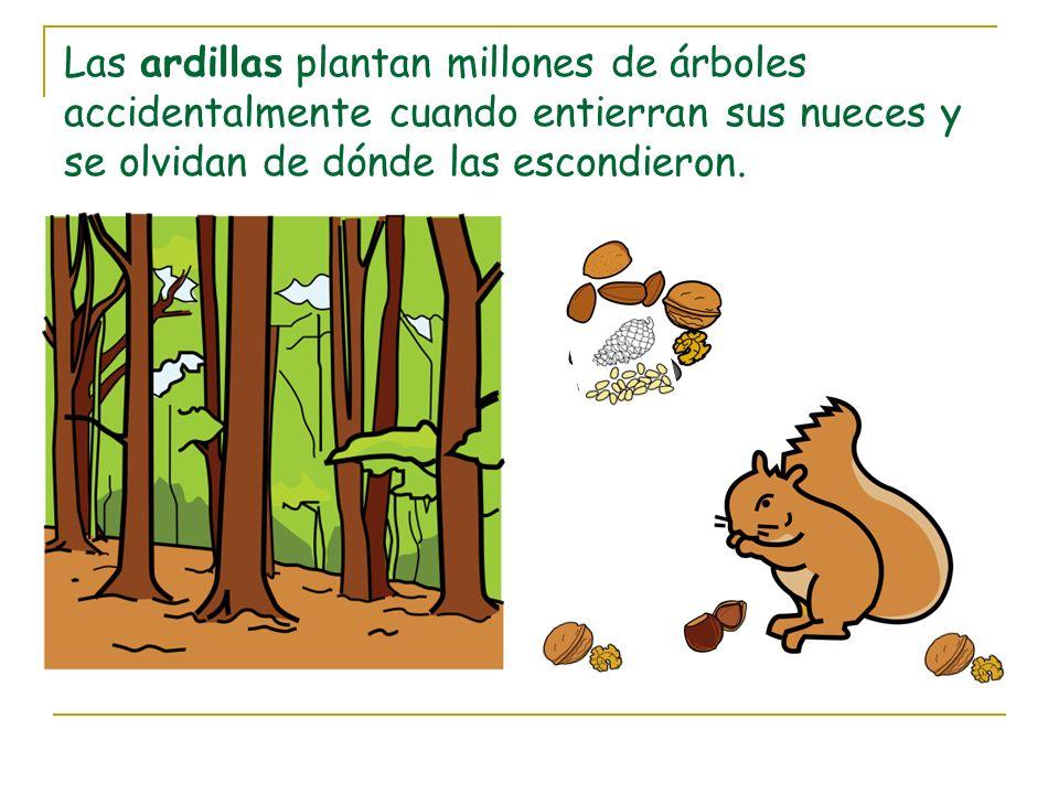 Las ardillas plantan millones de árboles accidentalmente cuando entierran sus nueces y se olvidan de dónde las escondieron.