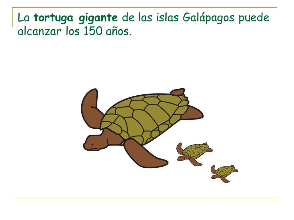 La tortuga gigante de las islas Galápagos puede alcanzar los 150 años.