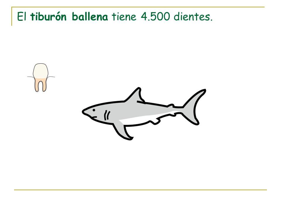 El tiburón ballena tiene 4.500 dientes.