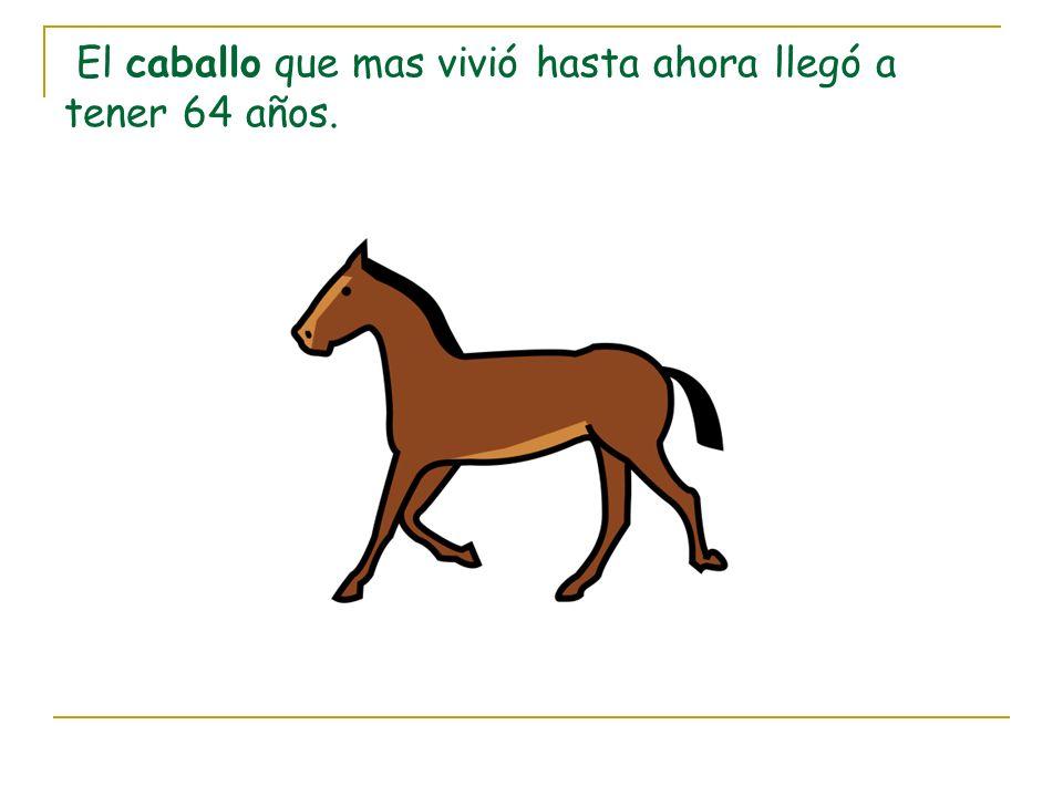 El caballo que mas vivió hasta ahora llegó a tener 64 años.