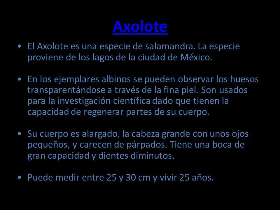 Axolote El Axolote es una especie de salamandra. La especie proviene de los lagos de la ciudad de México.