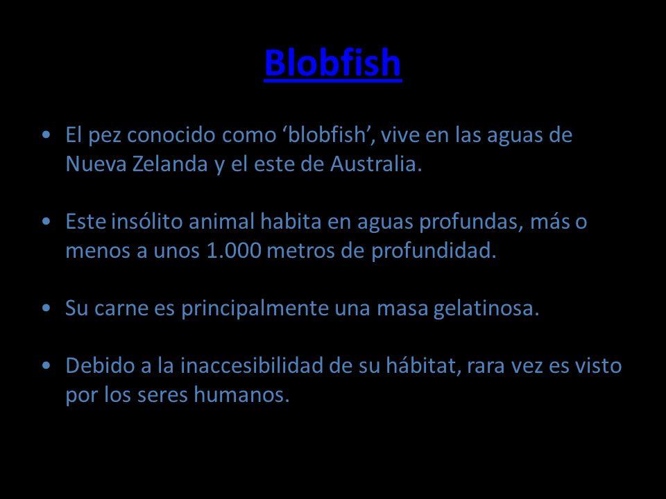 Blobfish El pez conocido como 'blobfish', vive en las aguas de Nueva Zelanda y el este de Australia.