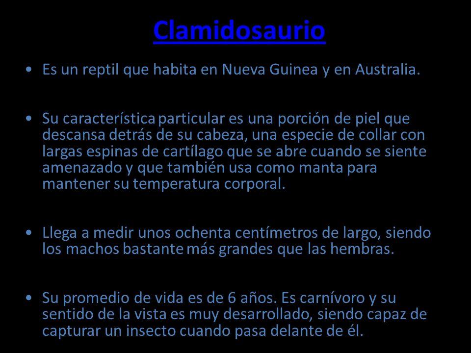 Clamidosaurio Es un reptil que habita en Nueva Guinea y en Australia.