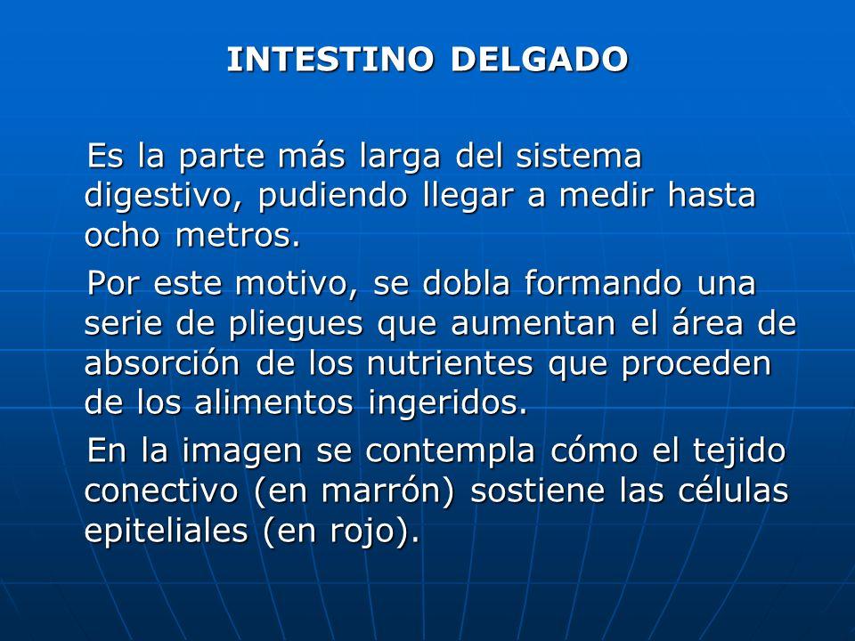 INTESTINO DELGADO Es la parte más larga del sistema digestivo, pudiendo llegar a medir hasta ocho metros.