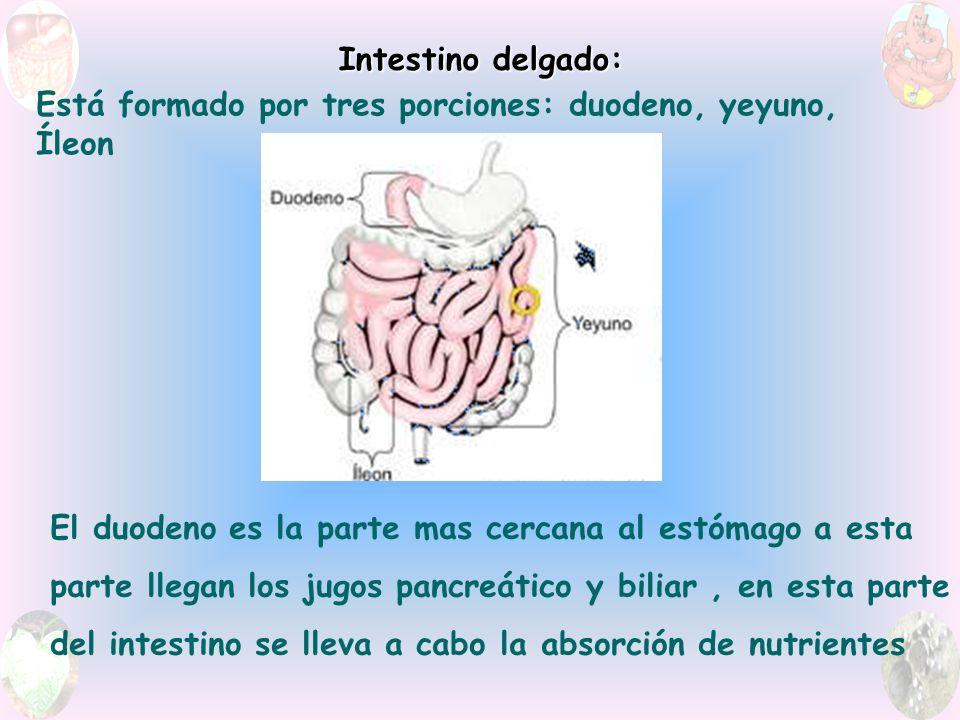 Intestino delgado: Está formado por tres porciones: duodeno, yeyuno, Íleon. El duodeno es la parte mas cercana al estómago a esta.