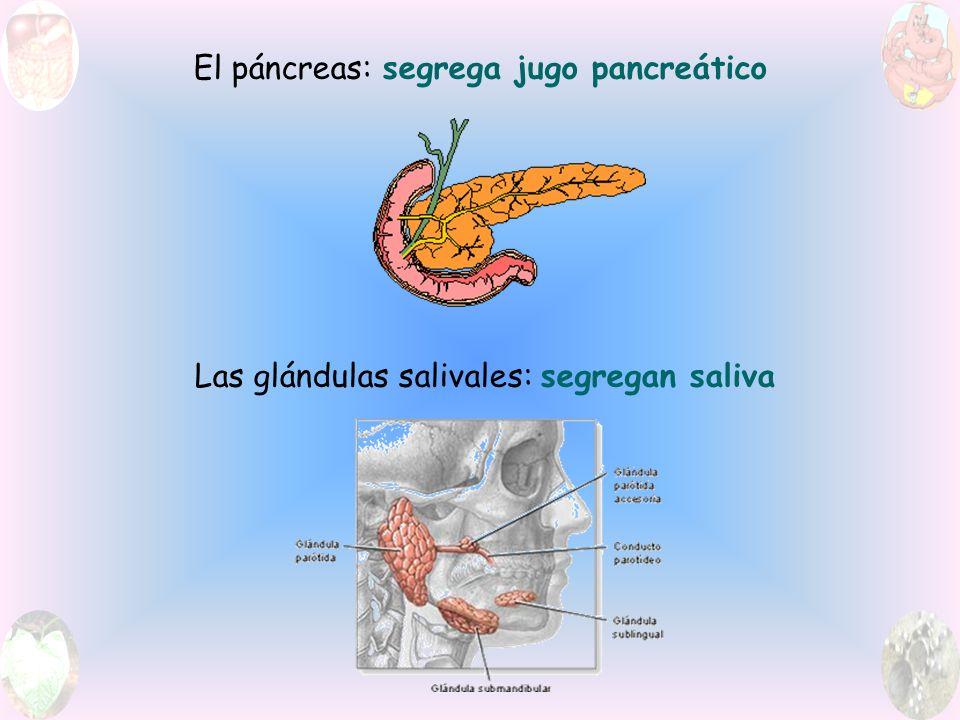 El páncreas: segrega jugo pancreático