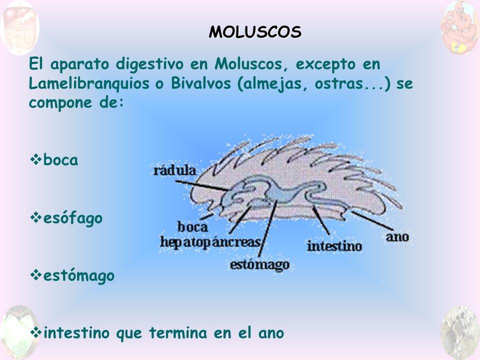 MOLUSCOS El aparato digestivo en Moluscos, excepto en Lamelibranquios o Bivalvos (almejas, ostras...) se compone de: