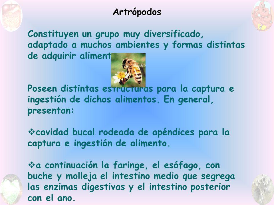 Artrópodos Constituyen un grupo muy diversificado, adaptado a muchos ambientes y formas distintas de adquirir alimentos.