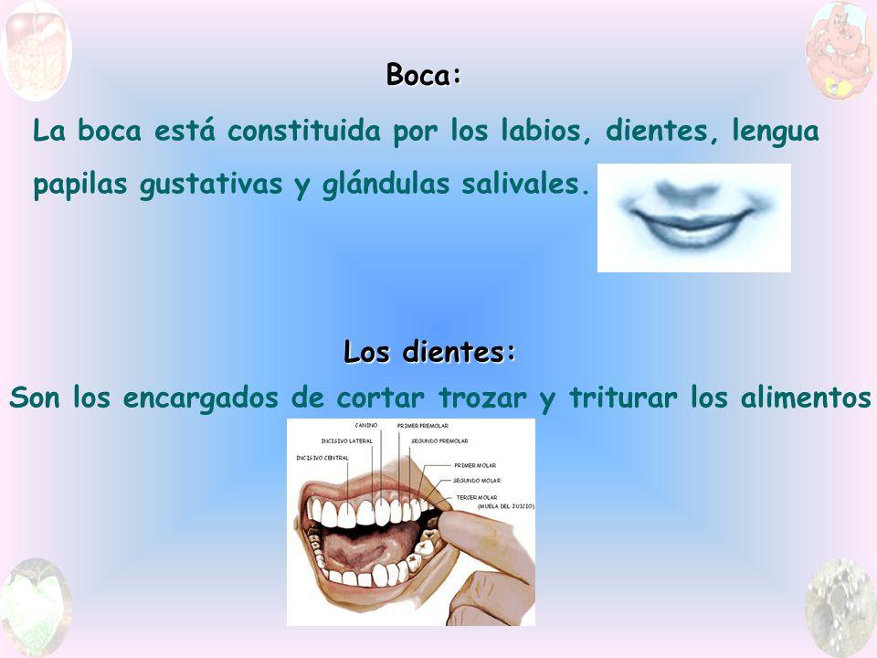 Boca: La boca está constituida por los labios, dientes, lengua. papilas gustativas y glándulas salivales.