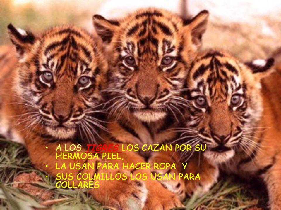A LOS TIGRES LOS CAZAN POR SU HERMOSA PIEL,