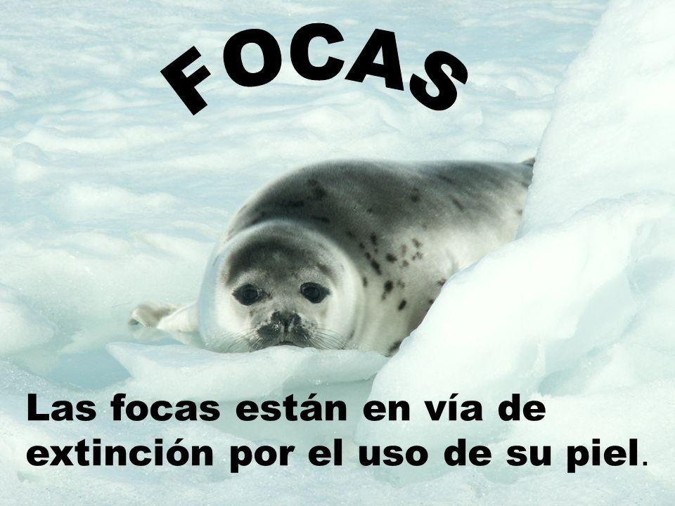 FOCAS Las focas están en vía de extinción por el uso de su piel.