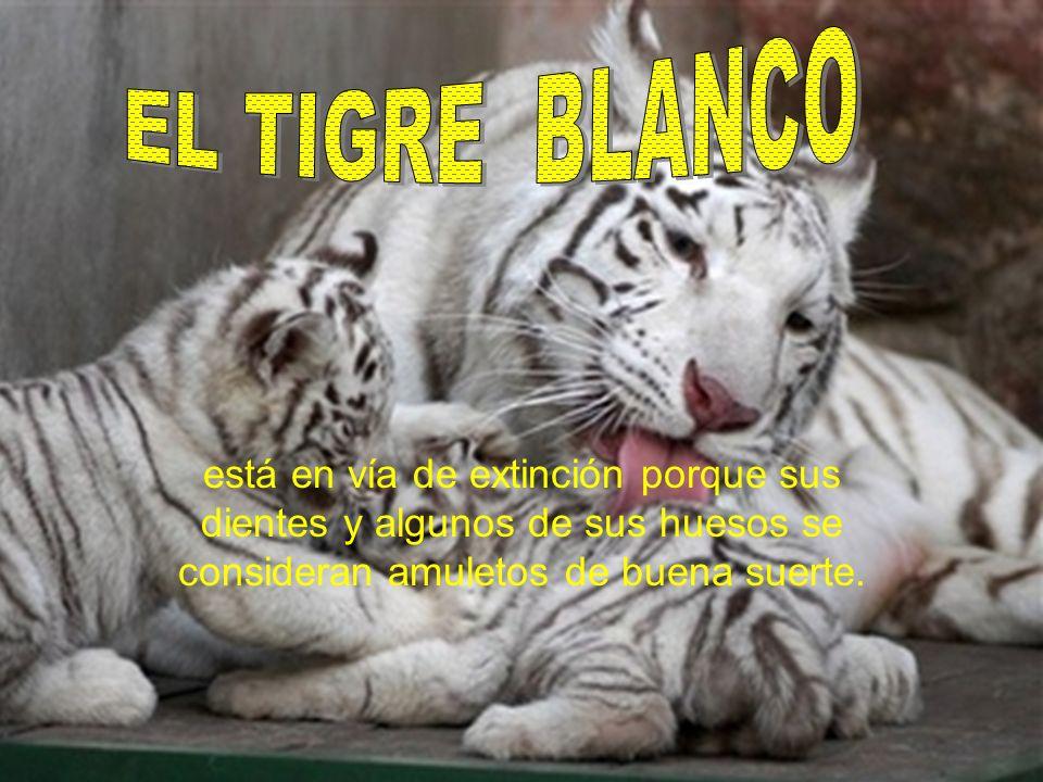 EL TIGRE BLANCO está en vía de extinción porque sus dientes y algunos de sus huesos se consideran amuletos de buena suerte.