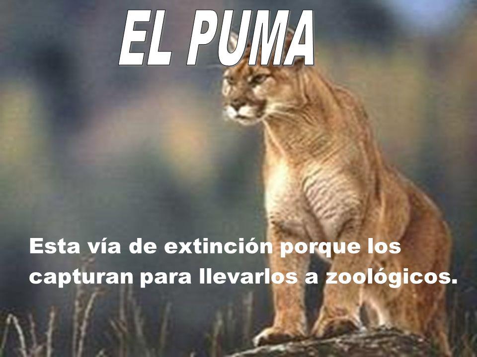 EL PUMA Esta vía de extinción porque los