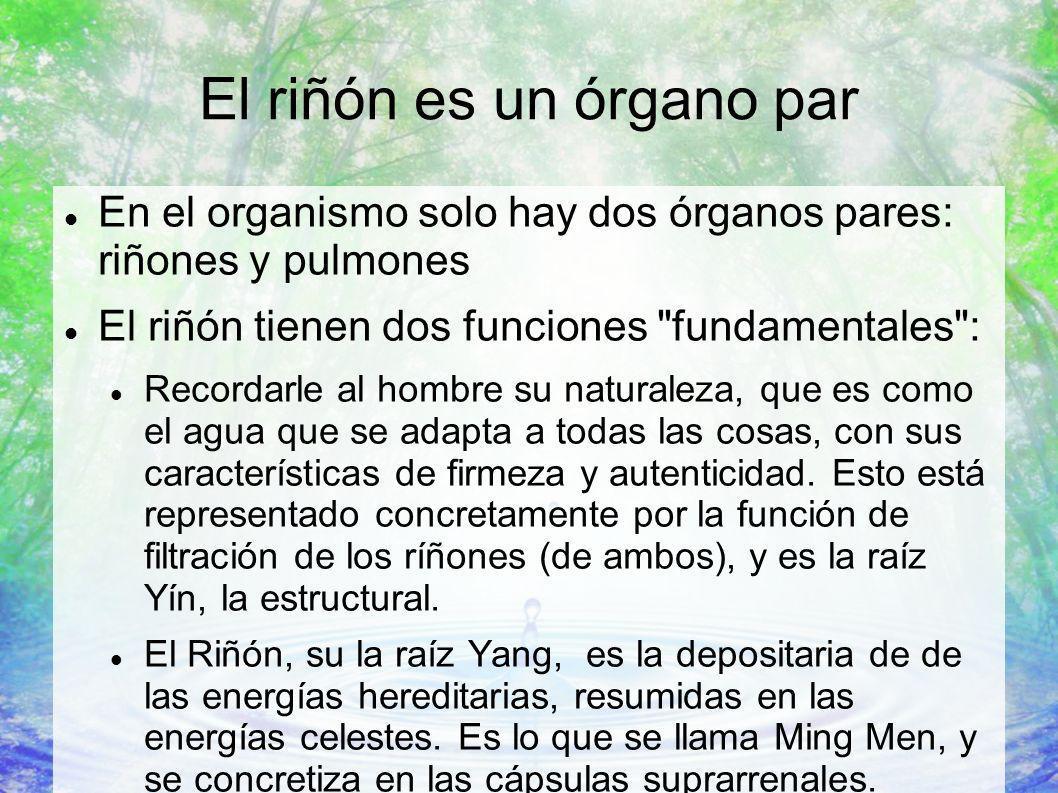 El riñón es un órgano par