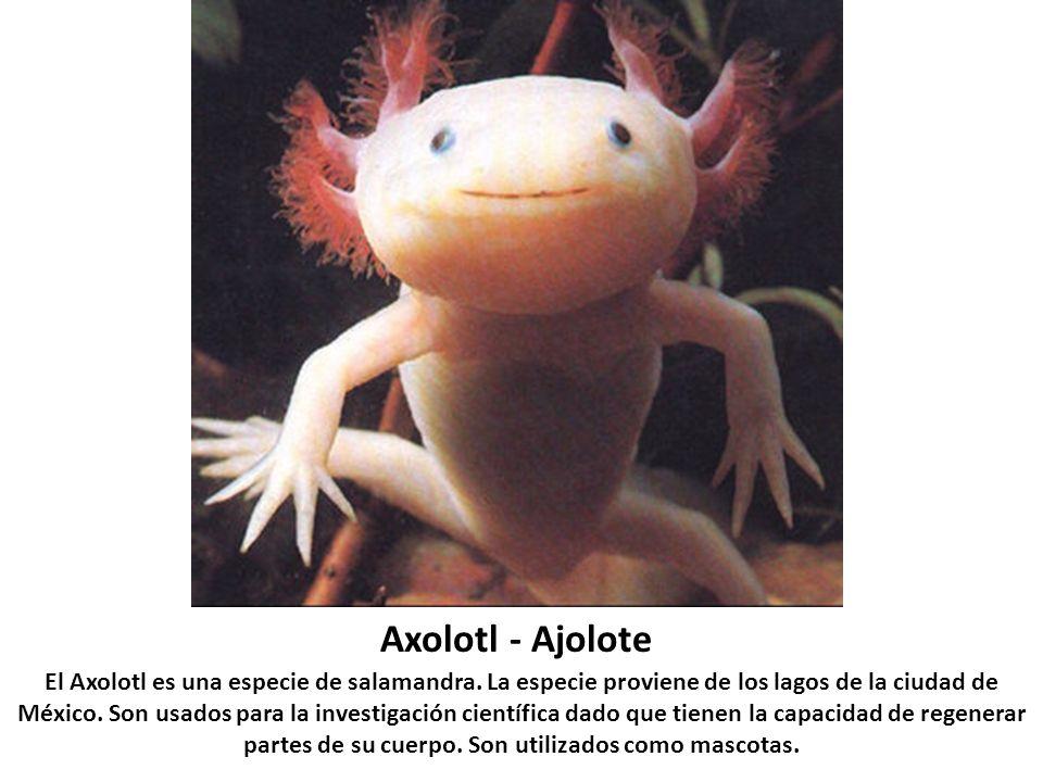 Axolotl - Ajolote