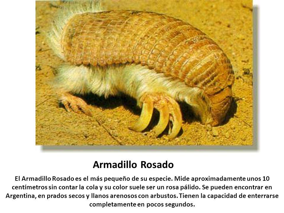 Armadillo Rosado