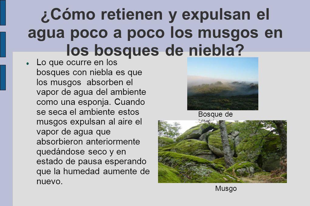 ¿Cómo retienen y expulsan el agua poco a poco los musgos en los bosques de niebla