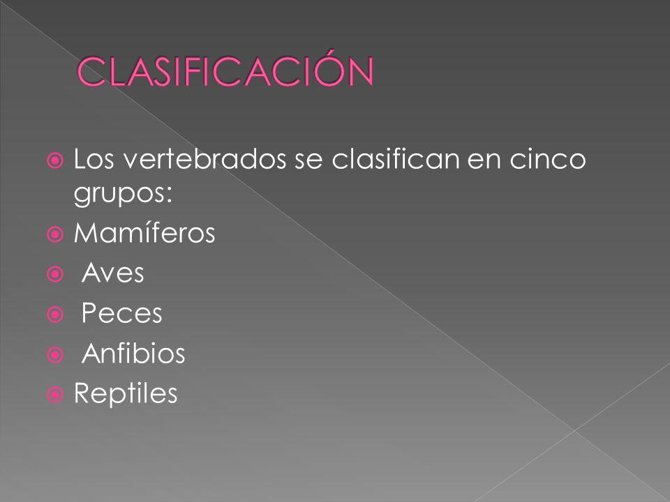 CLASIFICACIÓN Los vertebrados se clasifican en cinco grupos: Mamíferos