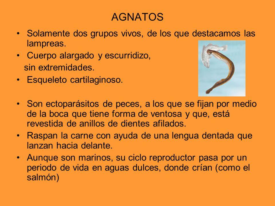 AGNATOS Solamente dos grupos vivos, de los que destacamos las lampreas. Cuerpo alargado y escurridizo,