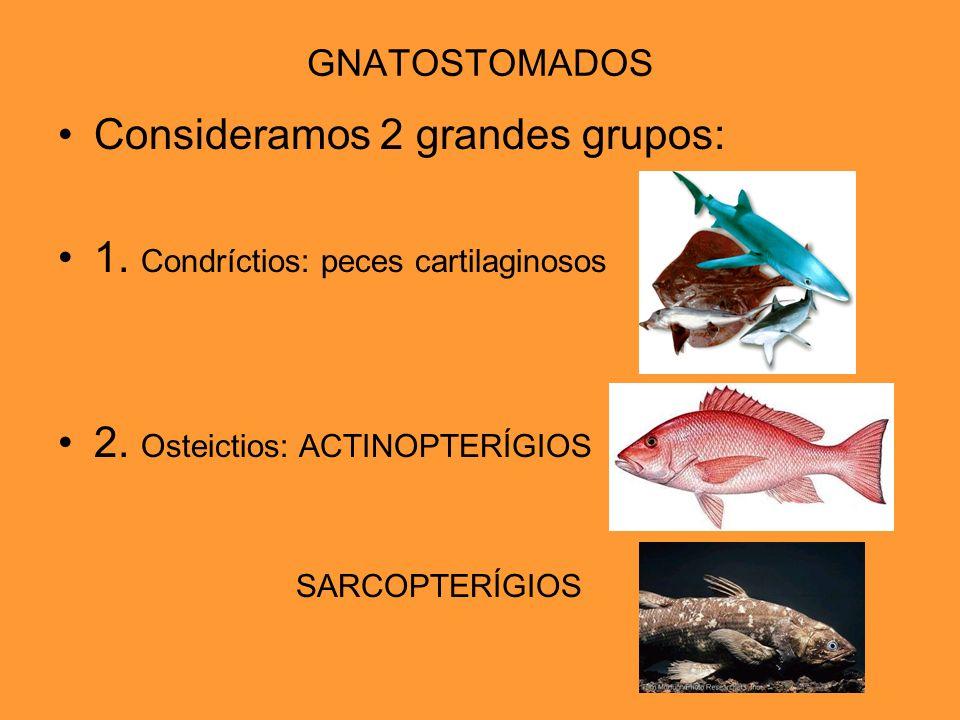 Consideramos 2 grandes grupos: 1. Condríctios: peces cartilaginosos