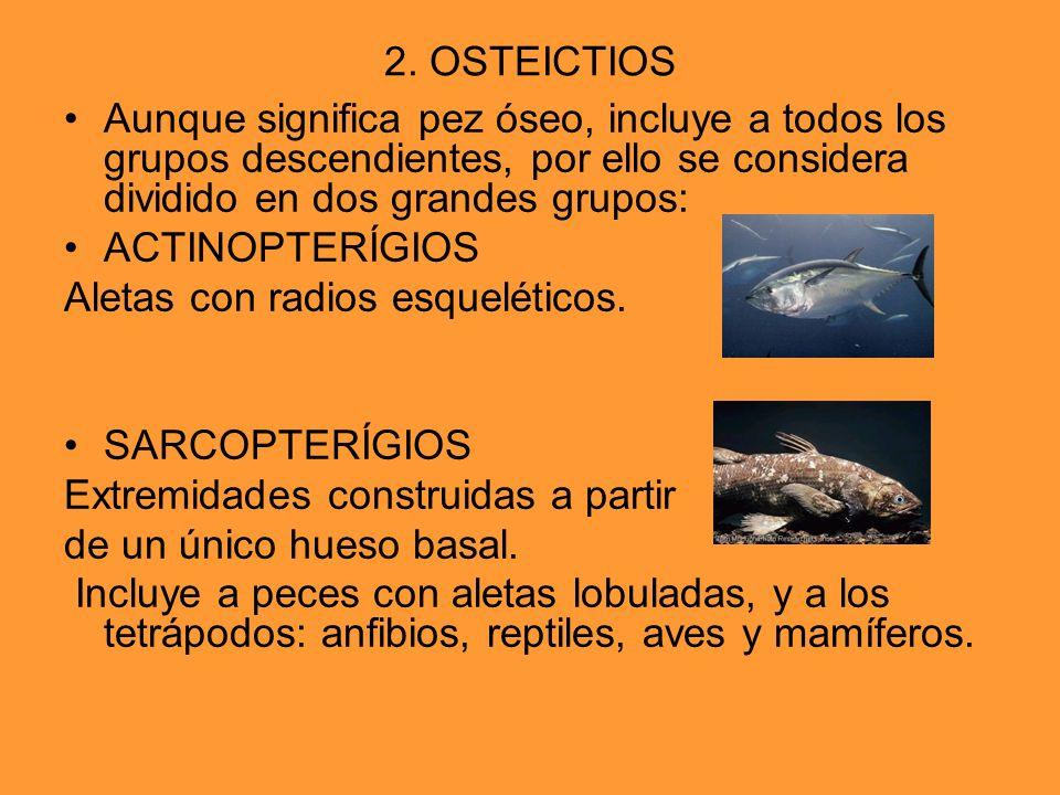 2. OSTEICTIOS Aunque significa pez óseo, incluye a todos los grupos descendientes, por ello se considera dividido en dos grandes grupos: