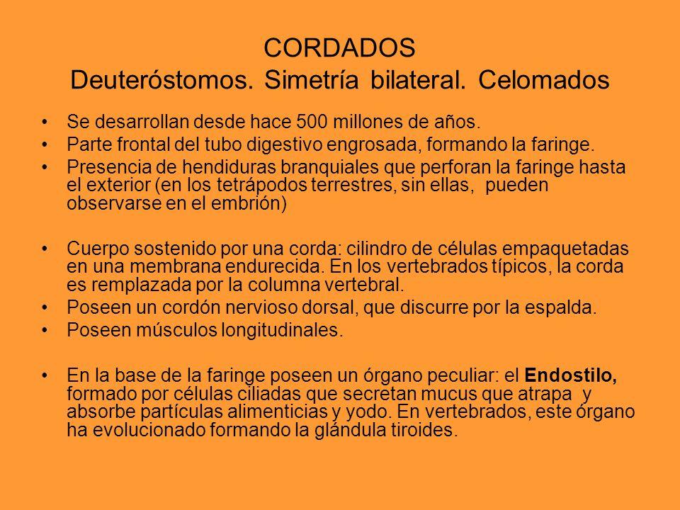 CORDADOS Deuteróstomos. Simetría bilateral. Celomados