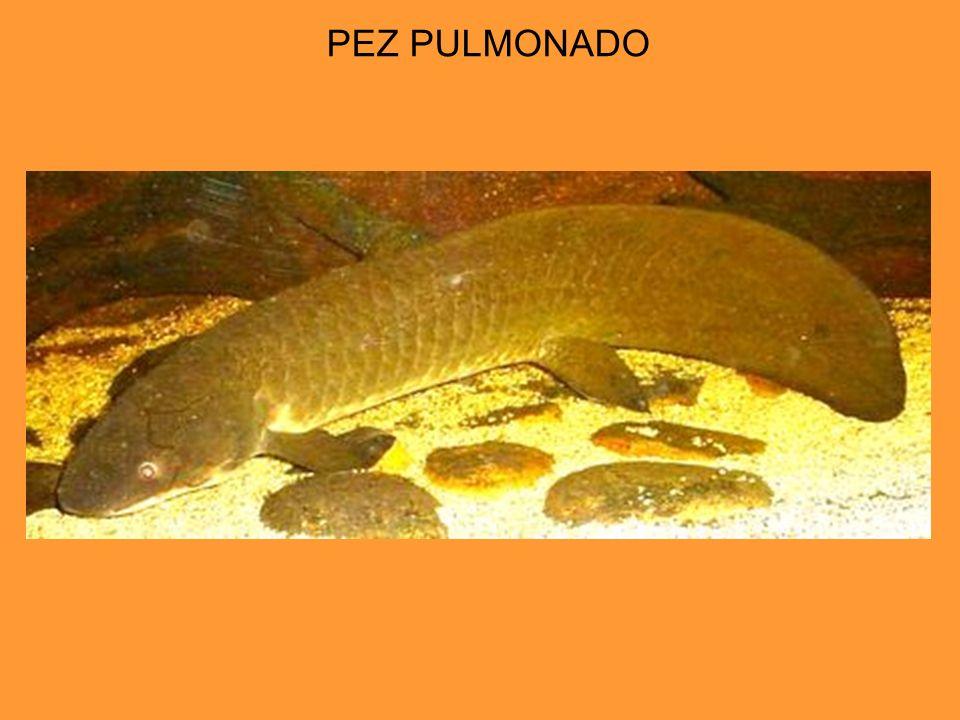 PEZ PULMONADO