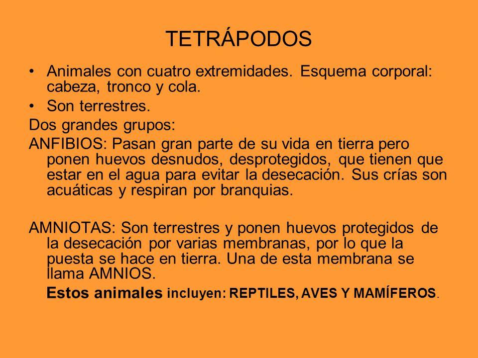 TETRÁPODOS Animales con cuatro extremidades. Esquema corporal: cabeza, tronco y cola. Son terrestres.