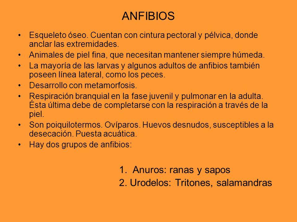 ANFIBIOS 1. Anuros: ranas y sapos 2. Urodelos: Tritones, salamandras