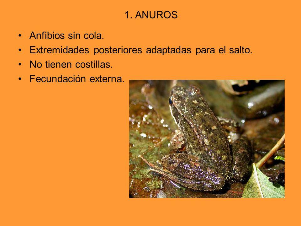 1. ANUROS Anfibios sin cola. Extremidades posteriores adaptadas para el salto. No tienen costillas.
