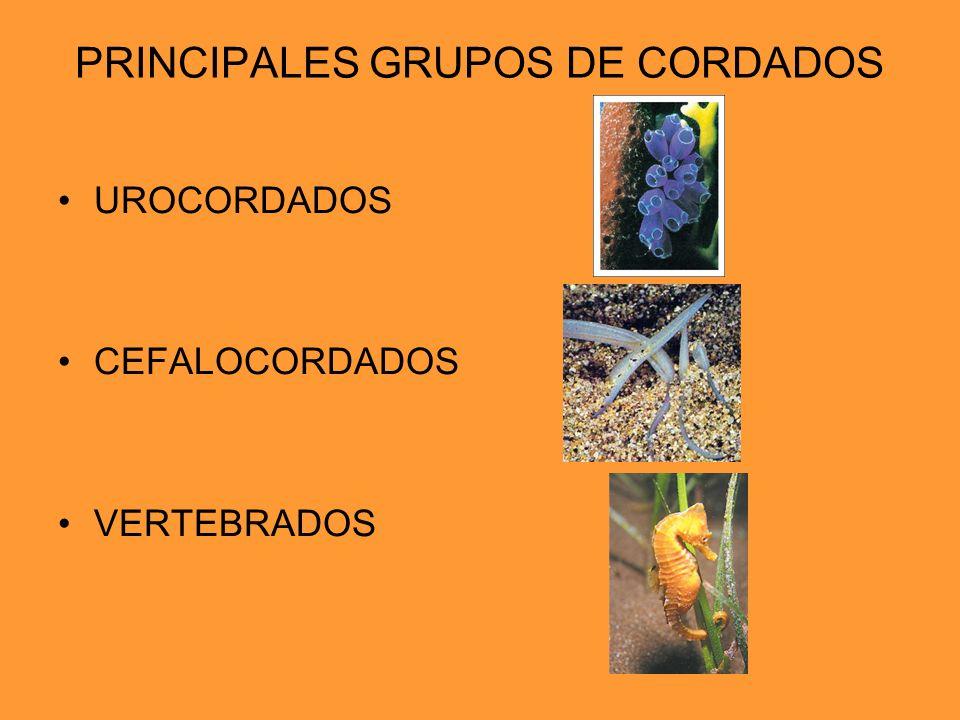 PRINCIPALES GRUPOS DE CORDADOS