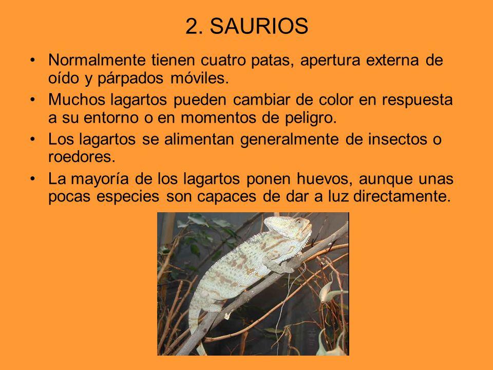 2. SAURIOS Normalmente tienen cuatro patas, apertura externa de oído y párpados móviles.