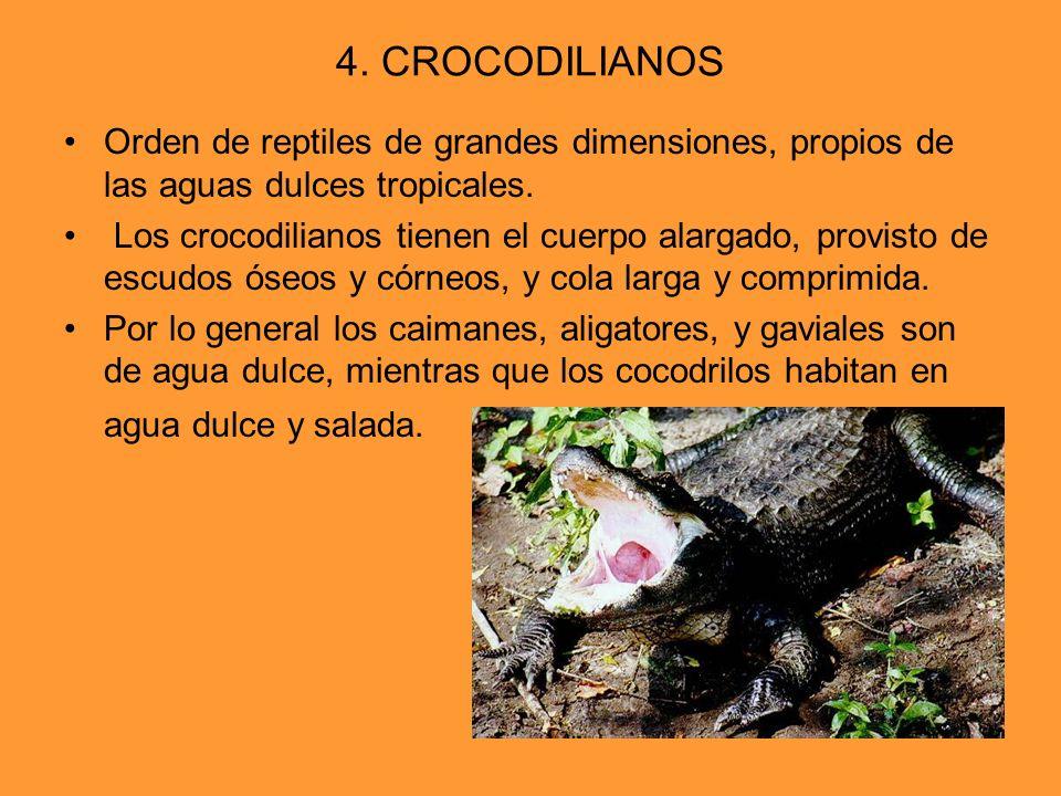 4. CROCODILIANOS Orden de reptiles de grandes dimensiones, propios de las aguas dulces tropicales.