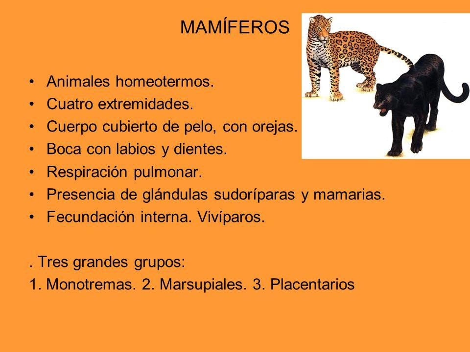 MAMÍFEROS Animales homeotermos. Cuatro extremidades.