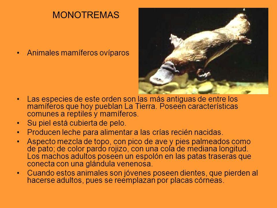 MONOTREMAS Animales mamíferos ovíparos