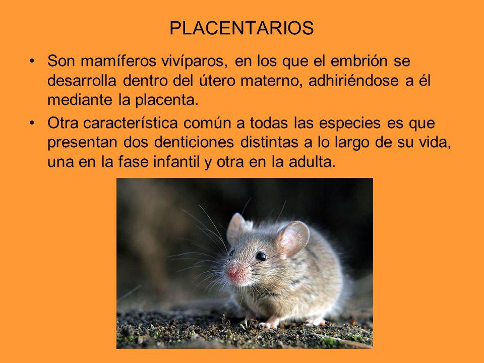 PLACENTARIOS Son mamíferos vivíparos, en los que el embrión se desarrolla dentro del útero materno, adhiriéndose a él mediante la placenta.