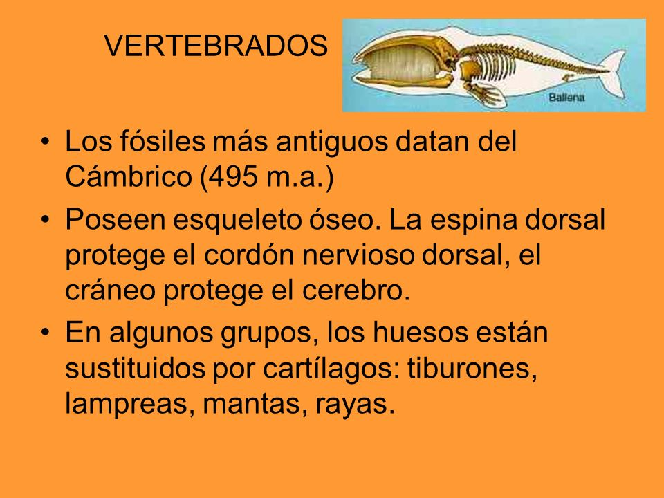 VERTEBRADOS Los fósiles más antiguos datan del Cámbrico (495 m.a.)