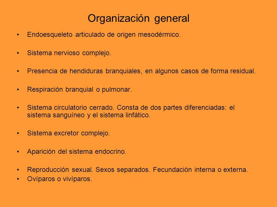 Organización general Endoesqueleto articulado de origen mesodérmico.