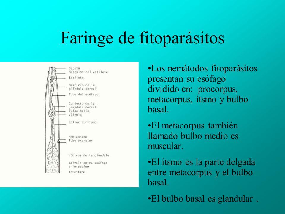 Faringe de fitoparásitos
