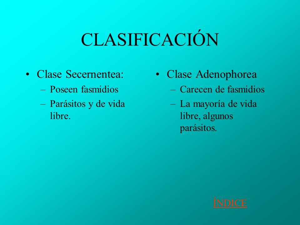 CLASIFICACIÓN Clase Secernentea: Clase Adenophorea Poseen fasmidios