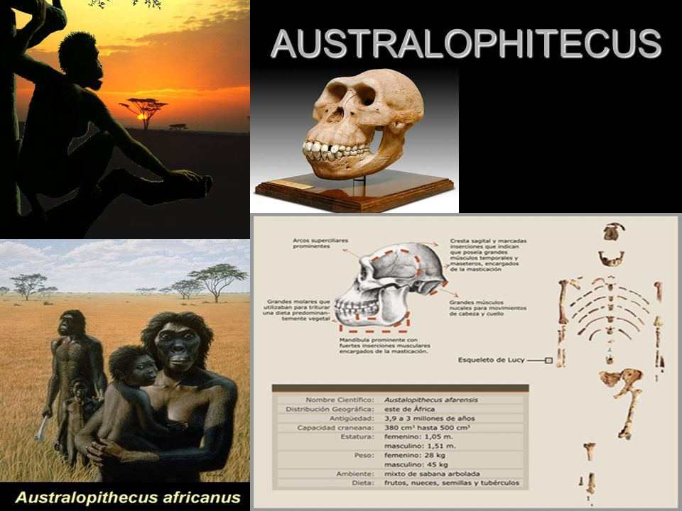 AUSTRALOPHITECUS