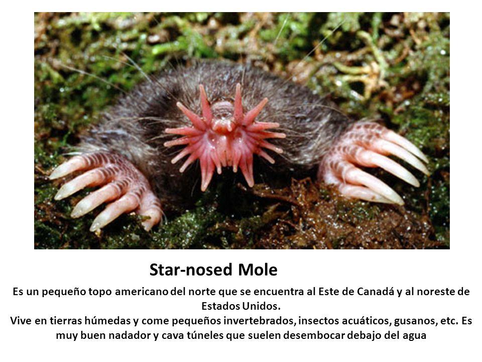 Star-nosed MoleEs un pequeño topo americano del norte que se encuentra al Este de Canadá y al noreste de Estados Unidos.