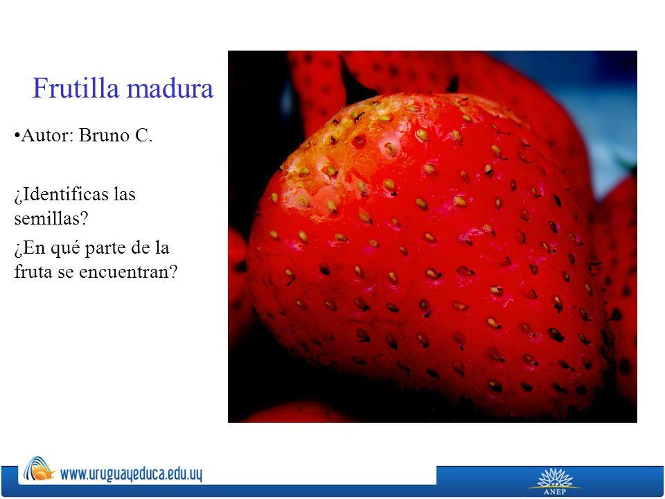 Frutilla madura Autor: Bruno C. ¿Identificas las semillas