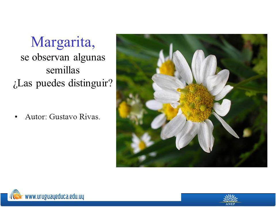 Margarita, se observan algunas semillas ¿Las puedes distinguir