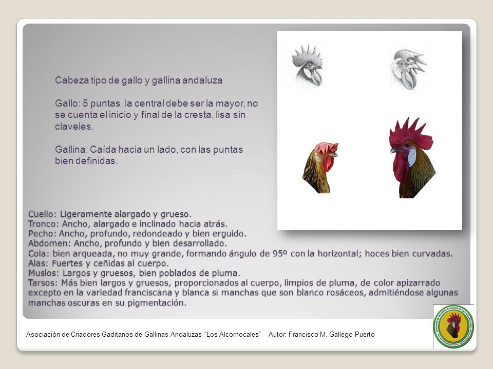 Cabeza tipo de gallo y gallina andaluza