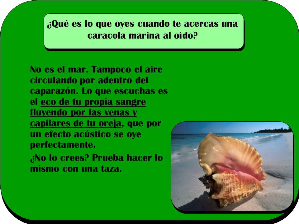 ¿Qué es lo que oyes cuando te acercas una caracola marina al oído
